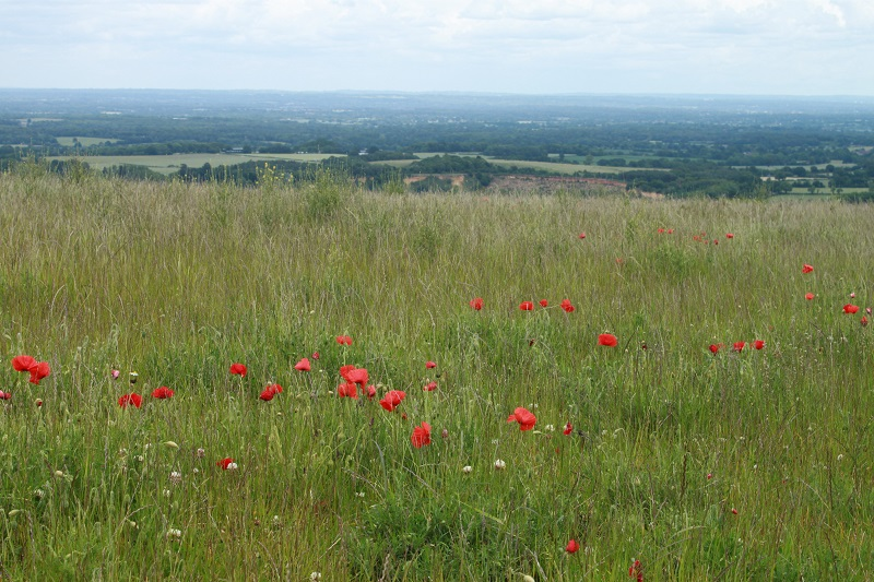 Long grasses and poppies on the South Downs at Storrington